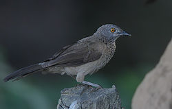 Flickr - Rainbirder - Brown Babbler (Turdoides plebejus).jpg