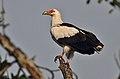 Flickr - Rainbirder - Palm-nut Vulture.jpg