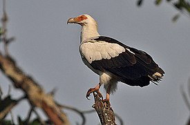 Flickr - Rainbirder - Palm-nut Vulture.jpg