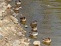 Flock of Anas crecca sleeping in the pond - 1.jpg