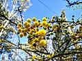 Flor de Huizache en Aguascalientes.jpg