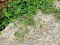 Flora from Madayipara DSCN2601.jpg