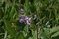 Florvioleta.jpg
