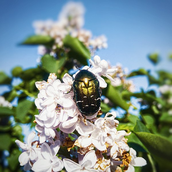 File:Flower Chafer On Lilac.jpg