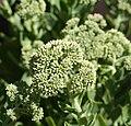 Flower crassula (1).jpg