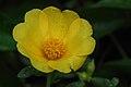 Flower from genus Portulaca.jpg