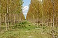 Footpath through plantation, Lower Fields, Napton - geograph.org.uk - 1272798.jpg