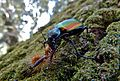 Forest Caterpillar Hunter (Calosoma sycophanta) (9078148823).jpg