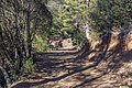 Forest road to Mt Tripylos, Troodos Mountains, Cyprus.jpg