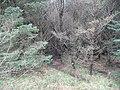 Forestry, Glen Fruin - geograph.org.uk - 723009.jpg
