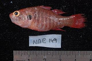 <i>Fowleria</i> genus of fishes