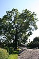Fraxinus excelsior AR2aJPG.jpg