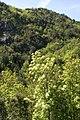 Fraxinus ornus JPG2c.jpg