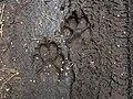 Fresh Wolf tracks, Białowieża Forest, Poland (4664117735).jpg