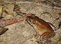 Frog at Sepilok spotted during the night trekking - Sabah - Borneo - Malaysia - panoramio.jpg