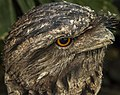 Frogmouth is awake NQld-1 (11886616615).jpg