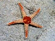 Fromia monilis (Seastar).jpg