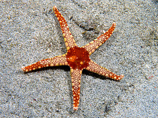 Starfish class of echinoderms, marine animal