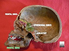 Frontal sinus - Wikipedia
