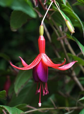 Onagraceae - Image: Fuchsia Magellanica Tas