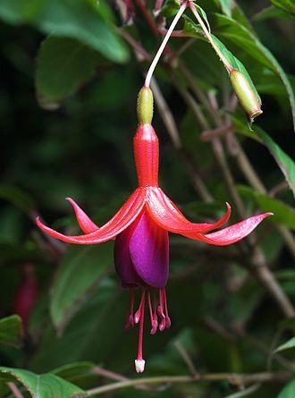 Fuchsia magellanica - Fuchsia magellanica - flower