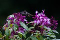 Fuchsia paniculata ^ Volcano hummingbird-0849 - Flickr - Ragnhild & Neil Crawford.jpg