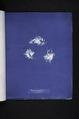 Fucus vesiculosus v. balticus (NYPL b11861683-419663).tiff