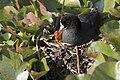 Fulica americana -Klamath Falls, Oregon, USA -nest-8 (1).jpg