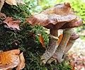 Fungus, Crawfordsburn Glen (32) - geograph.org.uk - 1544656.jpg