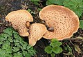 Fungus on decaying stump - geograph.org.uk - 600672.jpg