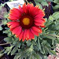 Gaillardia-arizona-red-shades-3721.jpg