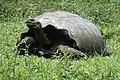 Galapagos Tortoise (46978453304).jpg