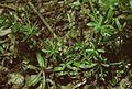 Galium spurium ssp vaillantii.jpg