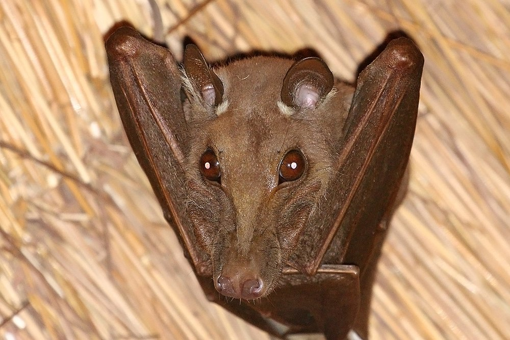 The average adult weight of a Gambian epauletted fruit bat is 131 grams (0.29 lbs)