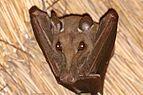 Gambian epauletted fruit bat (Epomophorus gambianus).jpg