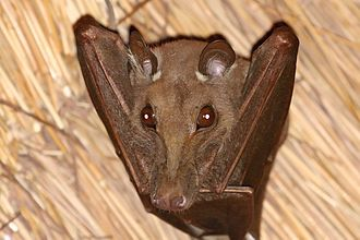 Gambian epauletted fruit bat - Image: Gambian epauletted fruit bat (Epomophorus gambianus)