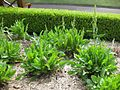 Gardenology.org-IMG 2811 rbgs11jan.jpg