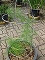Gardenology.org-IMG 7596 qsbg11mar.jpg