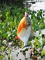 Geangelter Piranha.JPG