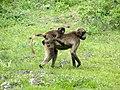 Gelada Baboons, Debre Libanos, Ethiopia 2013 - panoramio.jpg