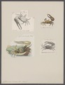 Gelasimus vocans - - Print - Iconographia Zoologica - Special Collections University of Amsterdam - UBAINV0274 094 02 0006.tif