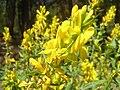 Genista tinctoria flowers.jpg