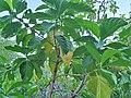 Gentianales - Morinda yucatanensis - 2.jpg