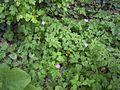 GeraniumRobertianum-plant-hr.jpg