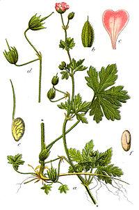 Geranium divaricatum Sturm5