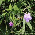 Geranium thunbergii and Geranium yesoense var. nipponicum.JPG