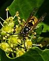 German Wasp (6997616532).jpg