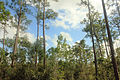 Gfp-florida-everglades-national-park-pine-forest.jpg
