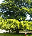 Giant Cypress tree in Tours, France.jpg