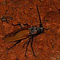 Giant Longhorn Beetle (Enoplocerus armillatus) female attracted to light ... (39162496994).jpg